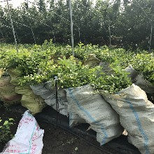 甜脆蓝莓苗、甜脆蓝莓苗品种图片