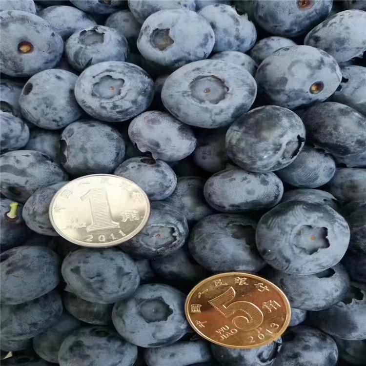 瞳仁蓝莓苗、瞳仁蓝莓苗报价及价格
