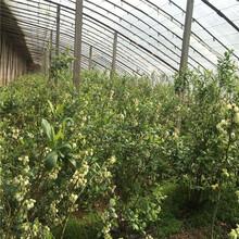 出售伊麗莎白藍莓苗、出售伊麗莎白藍莓苗價格及報價圖片