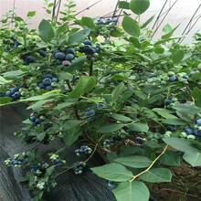 1年蓝莓苗批发、1年蓝莓苗价格图片