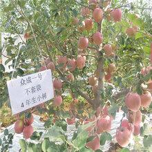 批發短枝矮化蘋果苗、批發短枝矮化蘋果苗基地