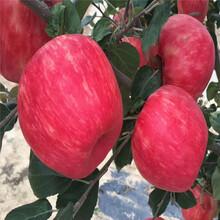 出售煙富6號蘋果樹苗、出售煙富6號蘋果樹苗價格及基地圖片