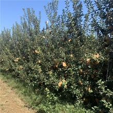 蛇果蘋果樹苗價格、蛇果蘋果樹苗價格及報價圖片