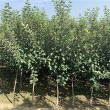 批發美國八號蘋果苗、批發美國八號蘋果苗價格及報價