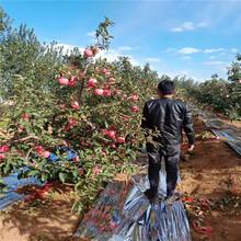 神富6号苹果树苗价格、山东神富6号苹果树苗图片