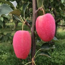 秦脆苹果树苗、秦脆苹果树苗基地及报价图片