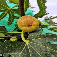 紫果無花果樹苗批發基地、紫果無花果樹苗價格及報價圖片