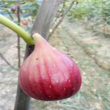 新品种3公分无花果树苗、3公分无花果树苗价格及基地图片
