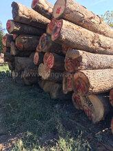 德国金威木业进口木材欧洲橡木白橡木原木橡木实木法国橡木实木原材料图片