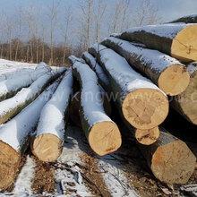 德国金威木业欧洲材进口木材欧洲榉木实木原木水青冈榉木原材料木料批发图片