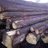 云杉原木欧洲德国捷克实木进口金威木业原木材杉木木料建筑原材料