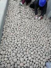中衛中寧縣鵝卵石中衛中寧縣園林綠化鵝卵石生產基地圖片