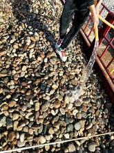 黃山黃山區鵝卵石天然鵝卵石化工廠鵝卵石廠家批發圖片
