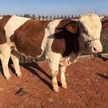 吉林肉牛小牛犢價格西門塔爾牛養牛場圖片