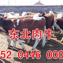 2018年東北地區400斤西門塔爾肉牛犢價格圖片
