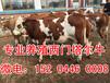 吉林肉牛犢出售信息吉林省肉牛養殖基地東北西門塔爾牛