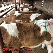 质量好的纯种西门塔尔牛犊批发价格东北牛场图片