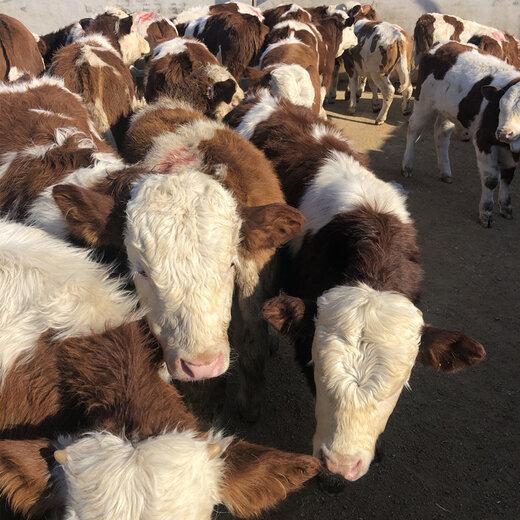 安徽省西门塔尔怀孕母牛价格