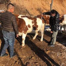 质量好的西门塔尔小母牛苗大量出售吉林大型养牛场图片