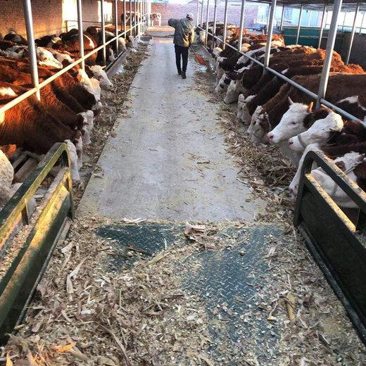 湖北省西门塔尔种牛基地