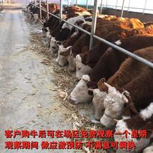 安徽省西門塔爾牛犢子多少錢一頭圖片