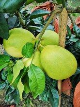 柚子产区直供,蜜柚大量批发,梓潼天宝蜜柚供应图片