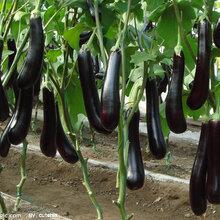 茄子提取物(昆侖瓜)陜西德潤康科技發展有限公司