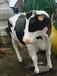 玻璃钢雕塑初生牛犊小花牛室外摆件