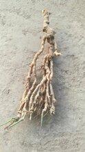 供应瓜蒌种苗图片