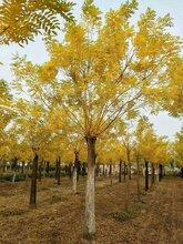 太原10公分金枝槐12公分金枝槐15公分金枝槐树精品树形多少钱图片