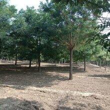 12公分国槐树哪里有原生冠国槐图片