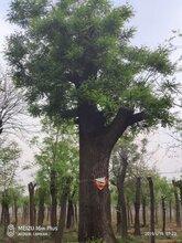 10公分国槐树价格行情冠幅3米图片