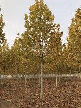 低价供应法桐,30公分法桐绿化苗木图片