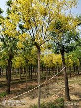 11公分黄金槐产地报价表,昌恒园林苗木图片