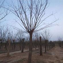菏泽6公分国槐种植基地,基地批发6公分国槐图片