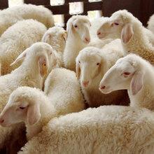 种羊养殖厂家,安徽种羊养殖厂家,安徽争华羊业种羊养殖厂家图片