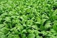 大白菜甘藍蔬菜葉面肥葉菜類專用促根壯苗沖施肥蔬菜增產滴灌肥