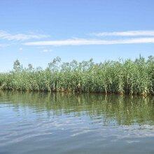 河北芦苇·,芦苇苗,芦苇种苗,种植基地