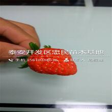 蜀香草莓苗附近哪里有蜀香草莓苗那家好图片
