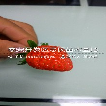 蜀香草莓苗附近哪里有蜀香草莓苗那家好