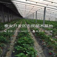 岱红樱桃苗简介、岱红樱桃苗批发价钱图片
