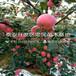 紅肉蘋果苗簡介、紅肉蘋果苗批發價格多少