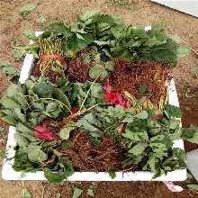 奶油草莓苗出售、奶油草莓苗多少钱图片
