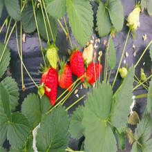 哪里有奶油草莓苗奶油草莓苗价格哪里便宜图片