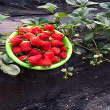 我想买奶油草莓苗奶油草莓苗批发基地图片