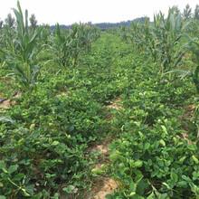今年奶油草莓苗批发价格奶油草莓苗产地图片