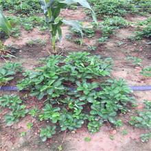 奶油草莓苗品种介绍图片