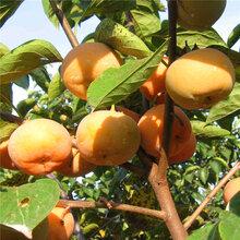 山東日本甜柿子苗多少錢日本甜柿子苗價格是多少圖片