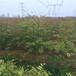 紅葉香椿苗批發基地新品種紅葉香椿苗出售基地