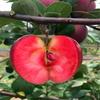 求购懒富苹果苗、懒富苹果苗价格哪里便宜